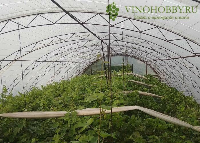 vinograd-v-podmoskove 7