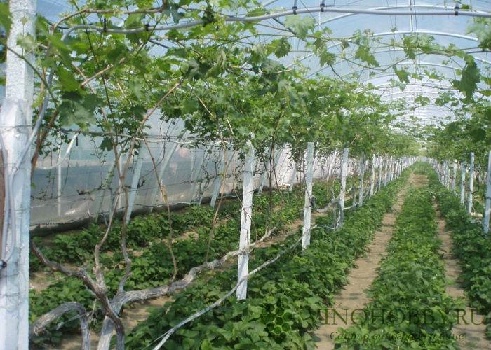 vinograd-v-podmoskove 9